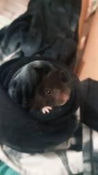 Filhote de hamster sirios
