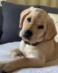 Labrador lindos filhotes disponíveis macho e fêmea