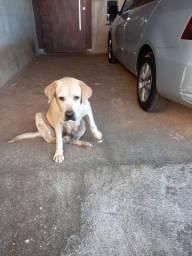 Labrador - Doação