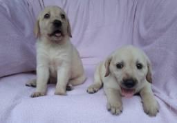 Labradores Fêmeas em 12 x no cartão de crédito