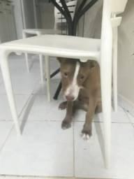 Pitbull filhote 4 meses