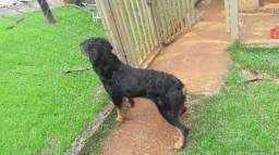 Rottweiler macho para cruzar