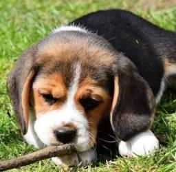 Filhote Beagle Minni com Pedigre e Garantia
