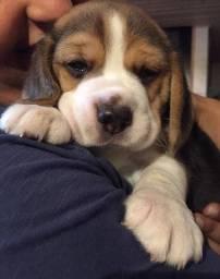 !!! Beagle Filhote 13 Polegadas. com Pedigree ++ Garantia de Saúde