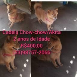 Cadela Chow-chow com Akita