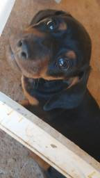Filhotes de Basset dachshund salcisha pra venda.