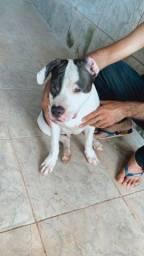 Pitbull Staffordshire 5 meses