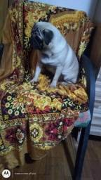 Pug Abrico macho