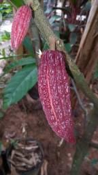 Cacau cupuaçu