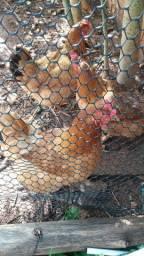 Vendo galinha raça