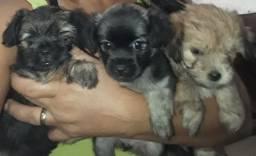 Vendo 3 cachorrinha