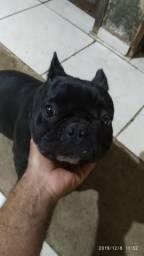 Bulldog francês R$ 1,500