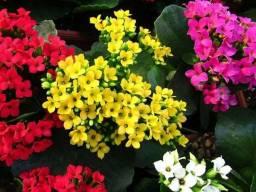 Kalanchoe Flor