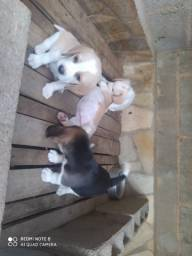 Filhotes Beagle macho