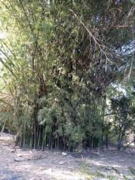 Bambu p/ artesão ou p/ espetos