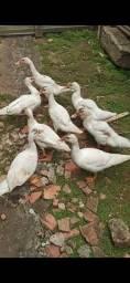 Casais de patos a venda