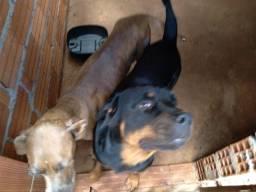 Vendo filhotes Rottweiler com fila