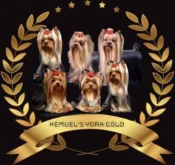 Filhotes de Yorkshire Terrier 100 % Raça Pura