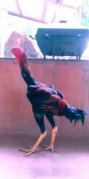 Frango indio gigante