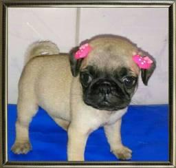 Lindos bebês de pug com pedigree Canil Hanah Beit