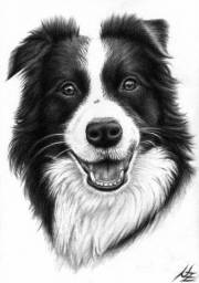 Procuro border collie