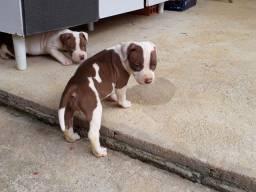 Filhotes de pitbull 400 R$.