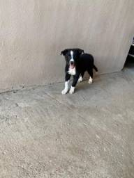 Vendo cachorro Bordecollie