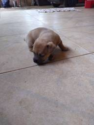 Cachorro filhote pintherr