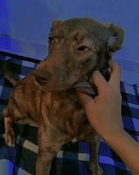 Doação de cachorra fêmea