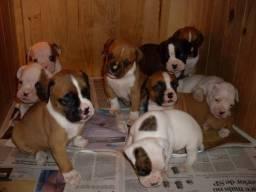 Boxer belos filhotes!!!