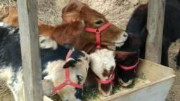 Venda de mini animais: Mini Bovinos e Mini Pôneis