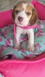 Linda filhote de beagle