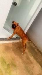 Procurase cachorra boxer para cruzar