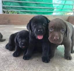 Lindos Filhotes de Labrador