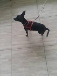 cachorro pinscher pequeno