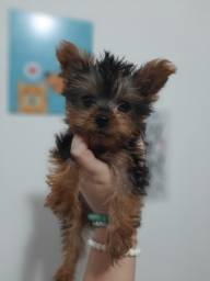 Filhote de Yorkshire Terrier Recibo Garantia de saúde Pedigree
