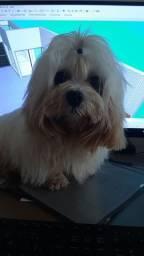 Filhote de Cachorro - Raça Lhasa Apso