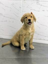 Filhotes Golden Retriever