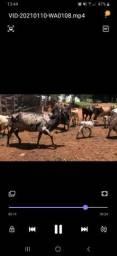 5 vacas paridas