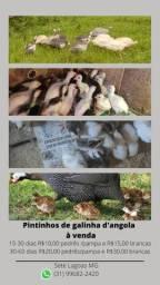 Pintinhos de galinha d'angola