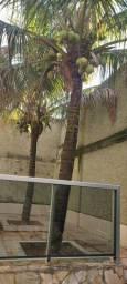 Pe de coco adulto e produzido