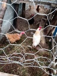 Vendo galinha caipira mais galo