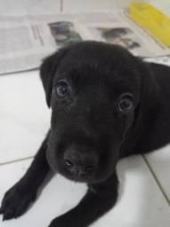 Vendo Labrador Fêmea