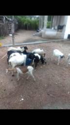 Vendo ovelhas e caprinos.. Irauçuba