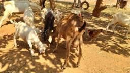Vende-se pequeno rebanho de cabras