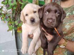 Labradores chocolate e caramelo filhotes com pedigree de pai campeão..
