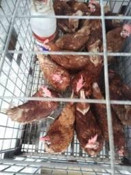 Galinhas 35 cada já botando ovos