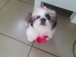 Shiptzu fêmea de 3 meses raça pura