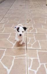 Filhote Pinscher com Terrier Brasileiro - Macho (com brinde!)