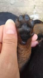 Filhote de rottweiler (cabeça de touro)
